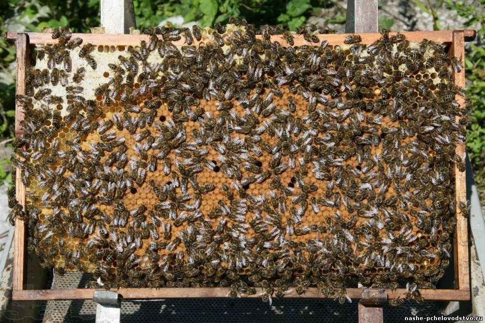 Продажа пчелопакетов в алтайском крае